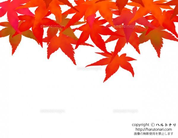 紅葉したモミジの落葉